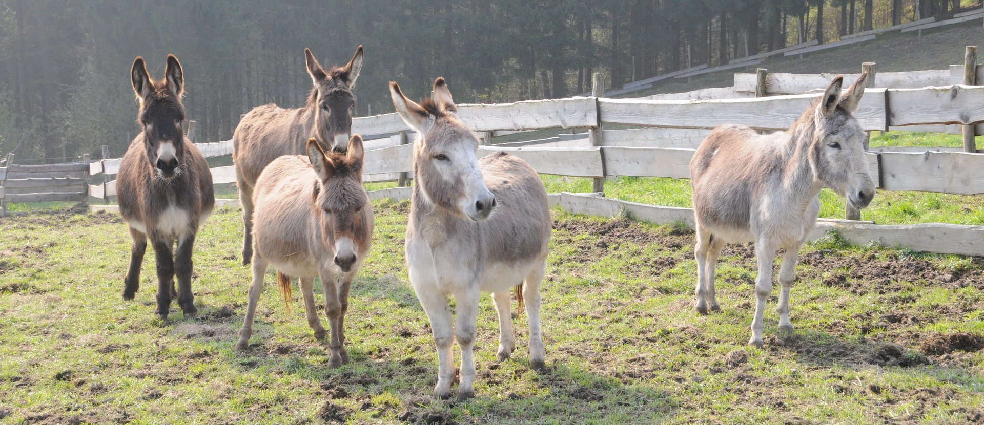 Esel in Esternberg