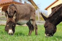 "Gerettete Esel-Wallache ""Manfred"" und ""Sunny"""