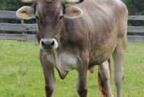 """""""Berti"""" kam schon als Kälbchen zu uns nach Esternberg, heute ist er ein wunderschöner, stattlicher und sehr verschmuster Braunvieh-Ochse!"""
