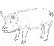 Zitatbild Schwein
