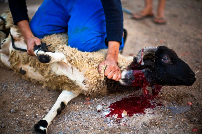 Schächten Tierquälerei