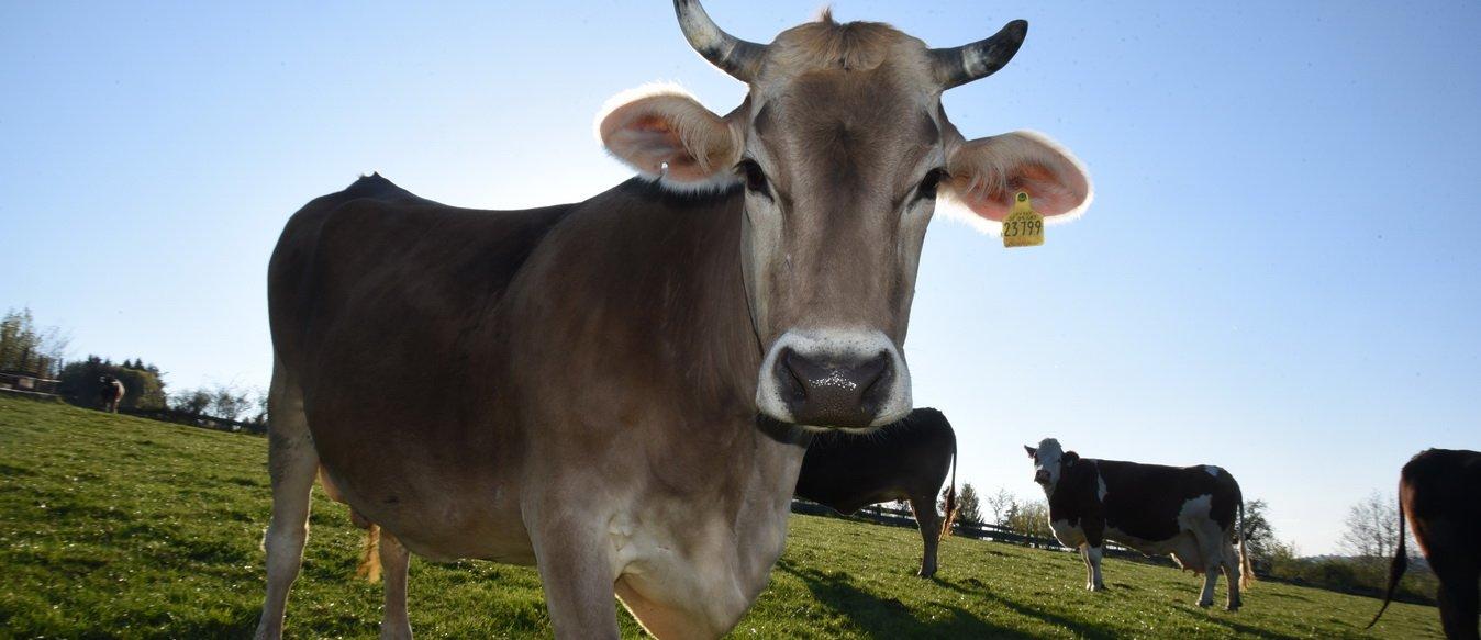 Kuh Klara auf der Esternberger Weide