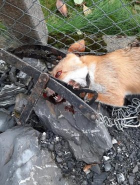 Fuchs in verbotenem Tellereisen