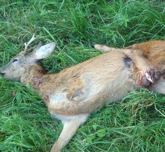 Grausame Jagd: abgeschossener Vorderlauf