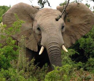 Afrikanischen Elefanten droht Ausrottung!